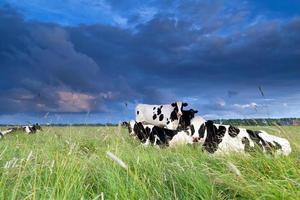 le mucche si rilassavano al pascolo