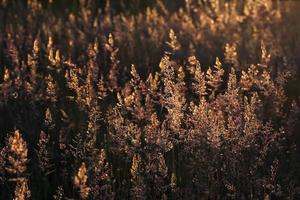 poaceae (chiamate anche graminacee o vere erbe) foto