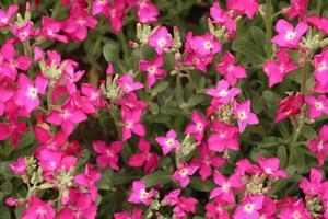gruppo di fiori rosa