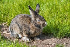 lepre coniglio grigio seduto sull'erba verde