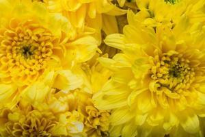 fiori di crisantemi gialli