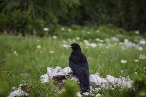 corvo sulle rocce nell'erba