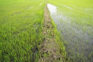 primo piano di un riso archiviato foto