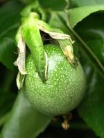 fiore verde del frutto della passione