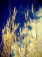 primo piano di un campo di erba di grano foto