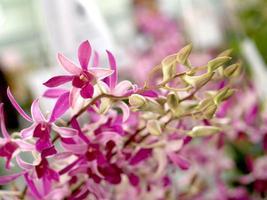 fiori di orchidea rosa