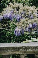 fiori di glicine viola