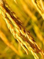 primo piano maturo del riso dorato