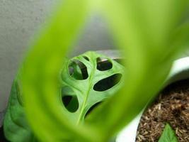 pianta monstera adansonii foto