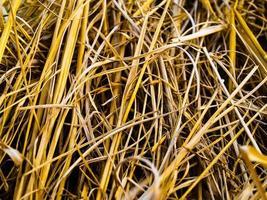 erba di grano selvatico