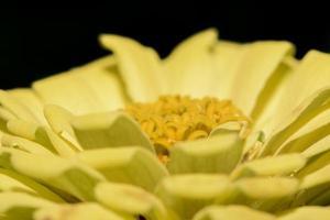 fiore di zinnia, primo piano