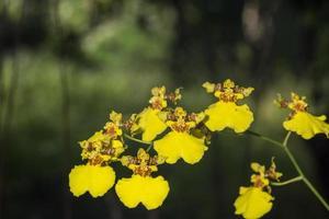 fiori di orchidea gialla