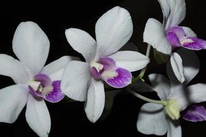 fiori di orchidea bianca