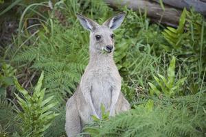 canguro neonato che mangia erba foto