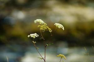 apiaceae fiore selvatico - sassifraga pimpinella maggiore - pimpinella major