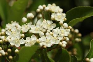 fiore di pyracantha