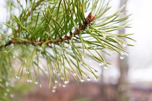 gocce sugli aghi di pino foto