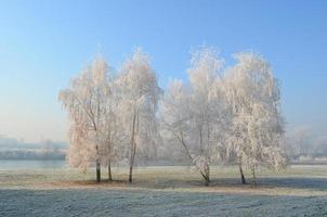 brina sugli alberi di betulla foto