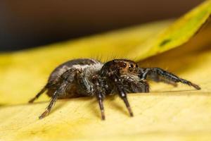 ragno macro su una foglia gialla