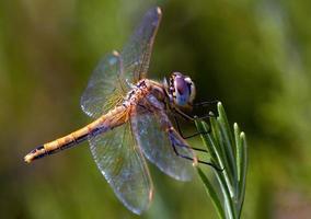 libellula sugli aghi delle piante