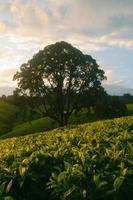 albero in piedi nel mezzo di una piantagione di tè