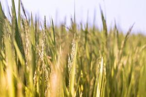 fondo della natura del campo di riso