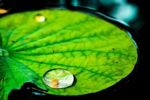 goccia d'acqua su foglia di loto verde foto