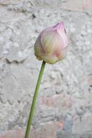 primo piano di un bocciolo di fiore foto