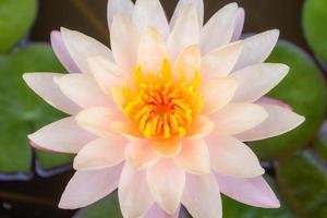ninfea rosa con foglie di loto