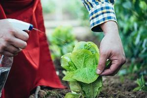 contadino che innaffia una pianta di lattuga in un campo di agricoltura biologica