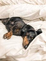 bassotto nero sdraiato a letto
