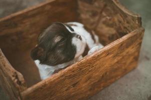 cucciolo bianco e nero in scatola di legno marrone