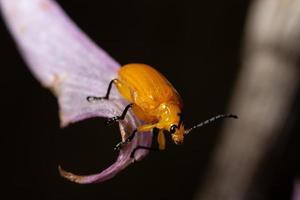coleottero giallo, macro