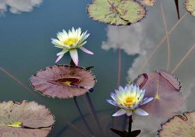 foto del primo piano dei fiori di loto