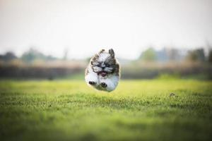 cucciolo felice saltando e correndo sul prato verde