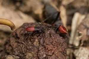 insetto emittero, primo piano