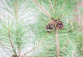 primo piano di un ramo con pigne nelle quali foto
