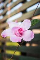 primo piano di una rosa rosa all'esterno foto