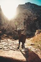 capra di montagna nel mezzo della valle cercando di fotocamera foto