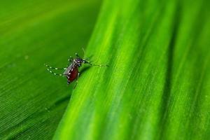 zanzara su una foglia