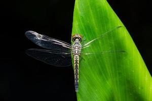 libellula su una foglia