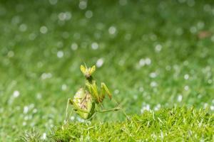 cavalletta nell'erba