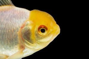 pesci rossi colorati su sfondo nero