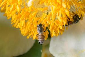 ape su un fiore giallo