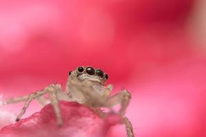 ragno su sfondo rosa