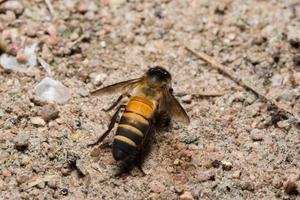 foto del primo piano dell'ape reale