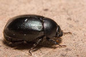 primo piano dello scarabeo stercorario