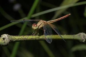 primo piano di una libellula