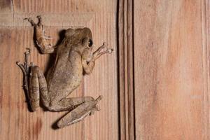 polypedates leucomystax su fondo in legno