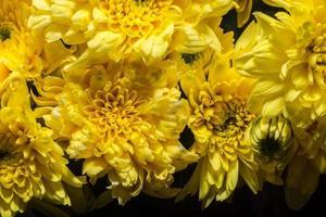 fiore di crisantemo giallo